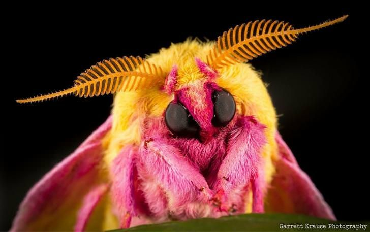 Adorable rosy maple moth I took a photo of based on the post in r ...